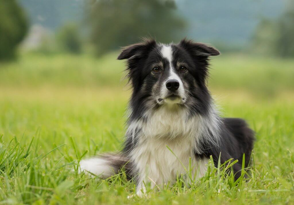 magnetic dog collars for inflammatory conditions